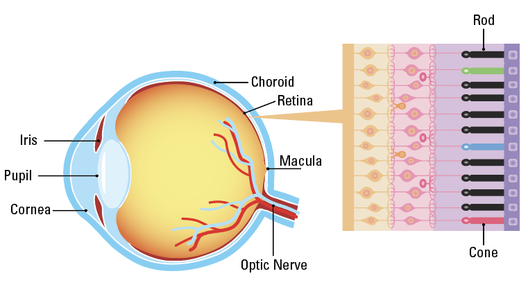 The Parts of the Eye Responsible for Detailed Vision and Color