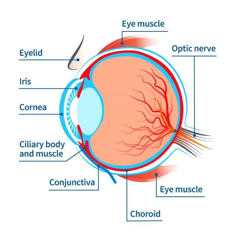 parts of the eye associated with eye inflammation and inflammatory eye disease